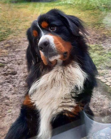 Reproduktor Berneński pies pasterski