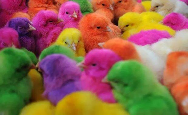 Яйца инкубационные разных пород
