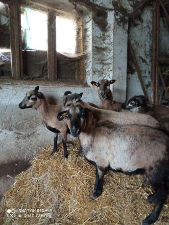 Sprzedam owce kameruńskie