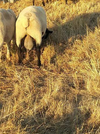 Carneiro suffolk ( ovelhas)