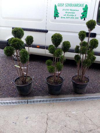 tuja formowana spirala bonsai