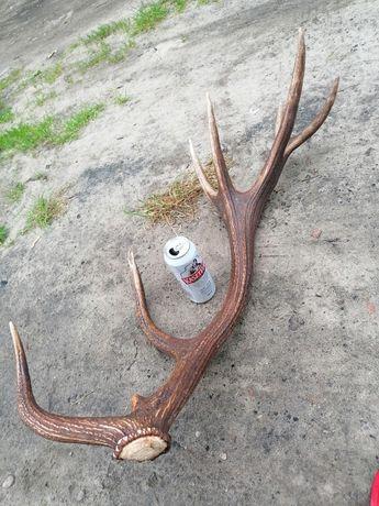 Zrzut poroże róg jelenia tegoroczny 3.47kg 91cm ładny (rogi, zrzuty)