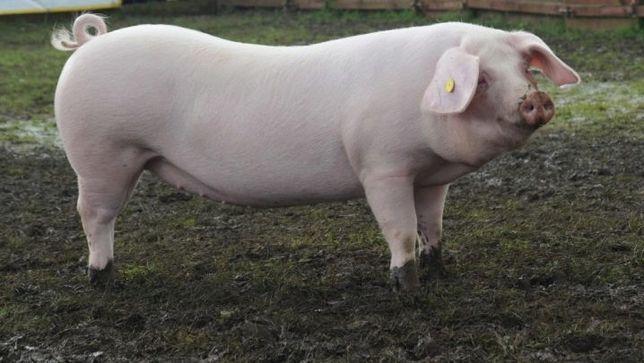 Продажа свиней живым весом срочно