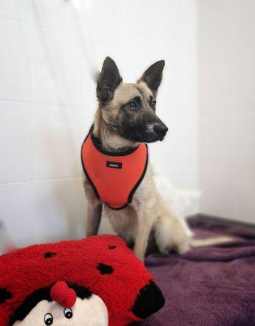 10 kg, 2 lata, PIK, łagodny, wesoły, lubi psy do adopcji