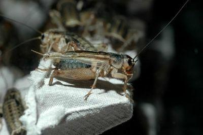 сверчки и тараканы