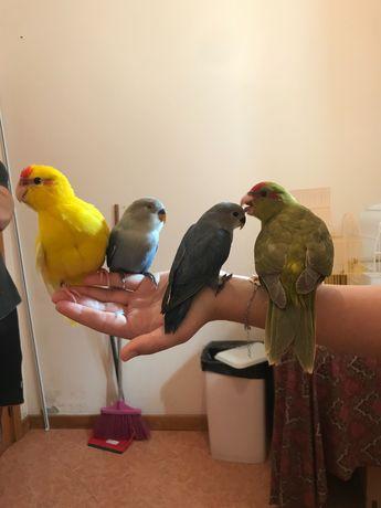 Vendo aves domesticadas
