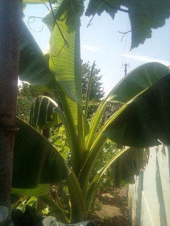 Банан Басио зимостойкий