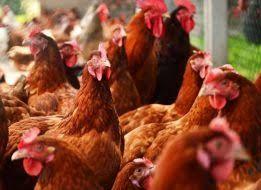 Kury nioski Ferma Drobiu Odchowalnia kurcząt młodych kurek z jajkiem