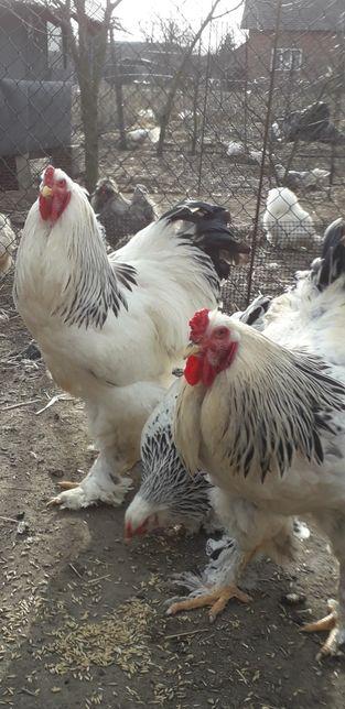 Brahma gronostajowa -jajka lęgowe