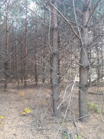 Drewno sosnowe,opałowe za darmo