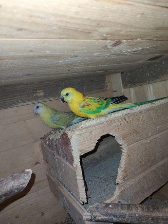 Sprzedam papugi !!