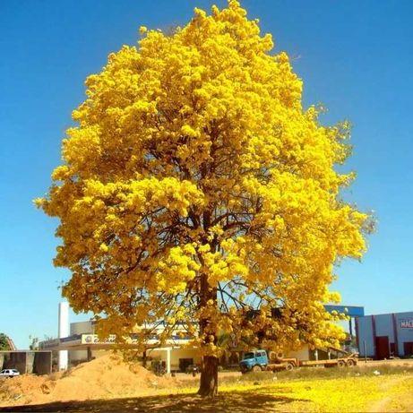 Árvore Ipê Amarelo