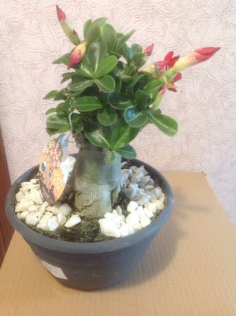 Цветущий Адениум бонсай, 23 горшок, Таиланд.