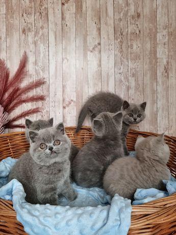 Kot Brytyjski * kocięta brytyjskie  Wolna:1 kotka i 1 kocurek