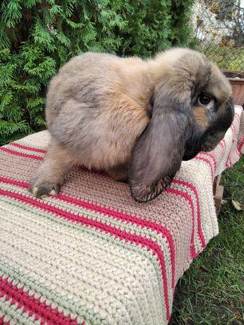Кролі,кролики породи французький баран