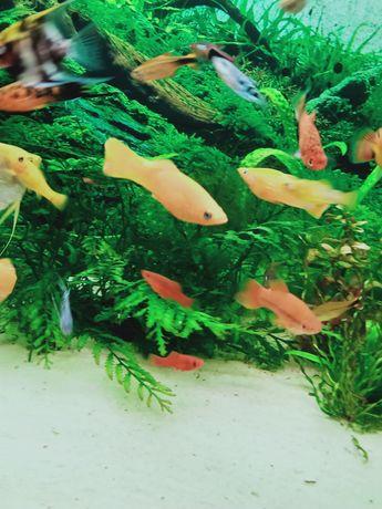 Witam sprzedam molinezje dorosłe i młode rybki zdrowe