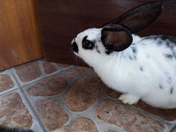 Sprzedam króliki srokacze