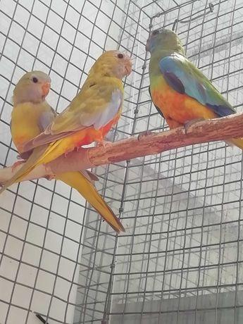 Neophemas aves 2021