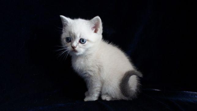 Очаровательная, общительная шотландская кошечка.