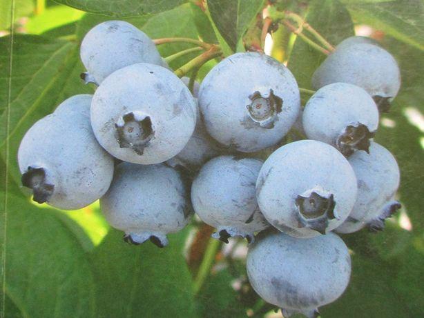 borówka amerykańska - owoce