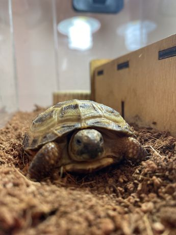 Черепаха Середньоазіатська Сухопутна
