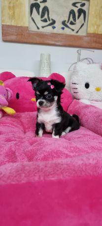 Chihuahua Fêmea lindissima preta e branca de pêlo comprido