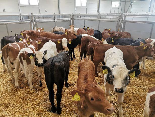 sprzedaż POLSKICH cieląt 50-100kg cielaki byczki jałówki