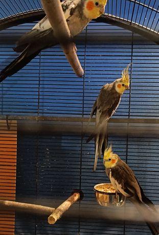 Sprzedam papugę nimfę