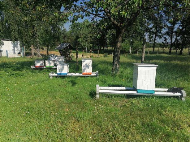 Rodziny pszczele ule, pszczoły ul wielkopolski