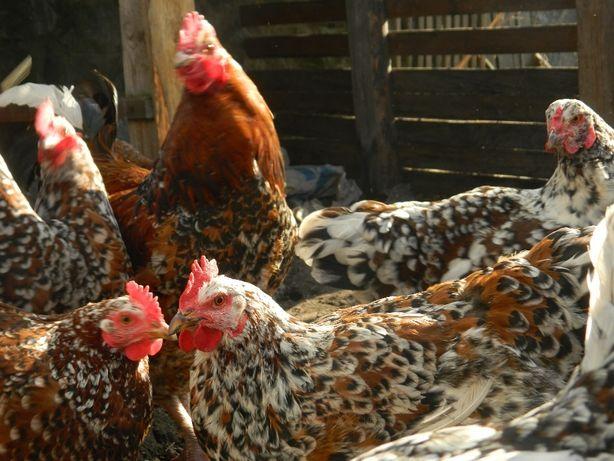 Ливенские ситцевые куры яйцо инкубационное