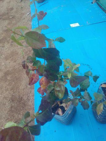 Planta pitanga para venda