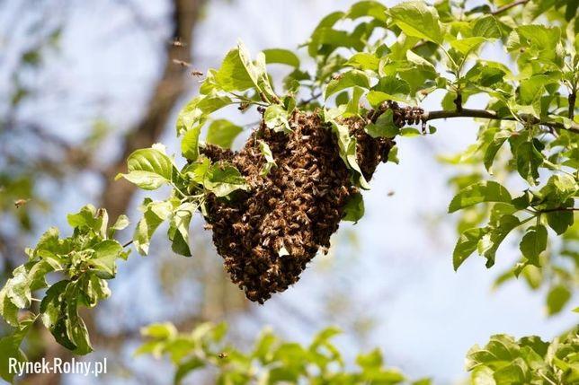 Rój pszczół, pszczoły zabiorę i dam nowy dom