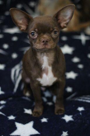 Шоколадный гладкошерстный мальчик чихуахуа