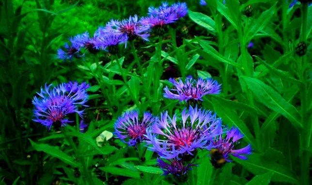 Василек садовый многолетный