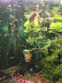 Gupiki pawie oczko rybki akwariowe