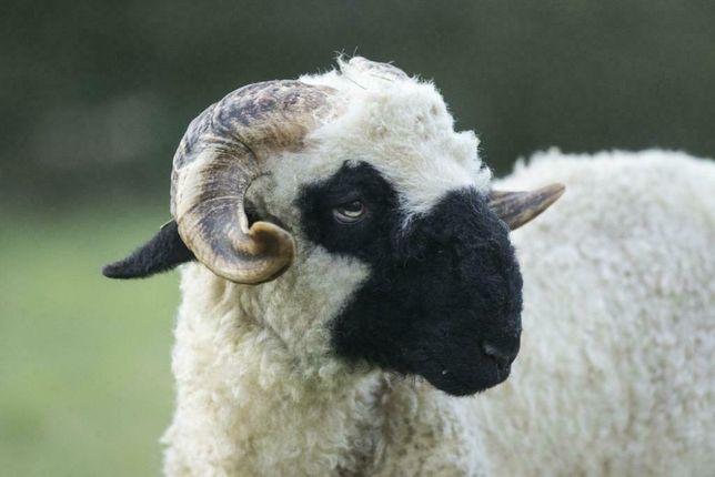 Owca Walizerska Czarnonosa