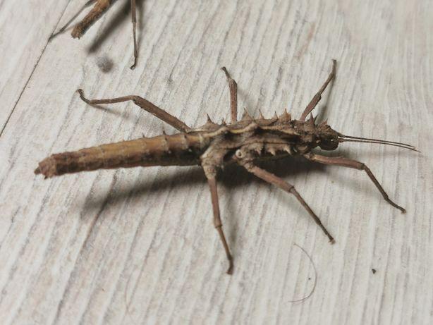 Straszyk -Tisamenus serratorius- Rzadki gatunek - patyczak terrarium