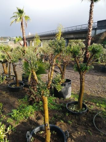 CAMPANHA 2021/2022 - Oliveiras Bonsai/Pratos/Plantas