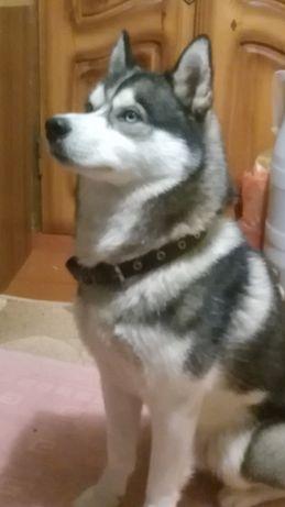 Пропала собака Хаскі