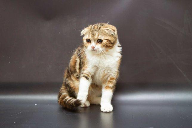 Кошечка Дерби, породы Скотиш фолд, 2 месяца