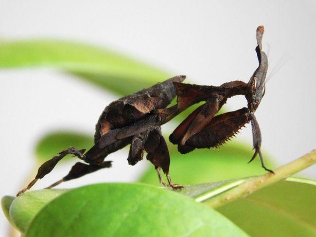 Modliszka liściogłowa Phyllocrania paradoxa młode