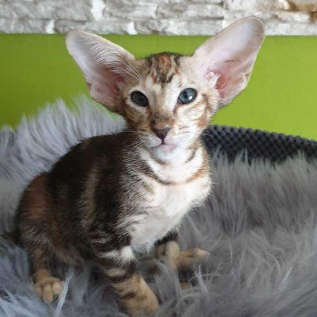 GAJA Dorycats*PL kotka orientalna rodowód Felis Polonia FPL/FIFE