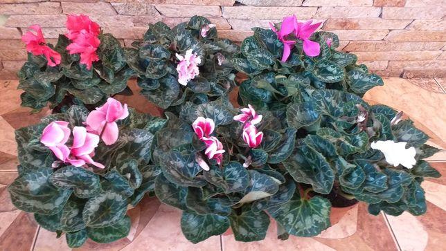 Цикламен,вазони квітучі, цветущие,цвети,комнатние,фиалки,подарок,