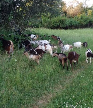 Продам кози молочні