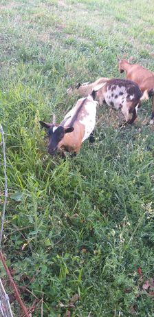 Cabra anã fêmea 3 anos
