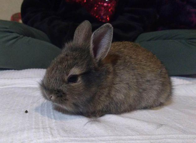 królik miniaturka rasa reks samiec do odbioru po 10 marca