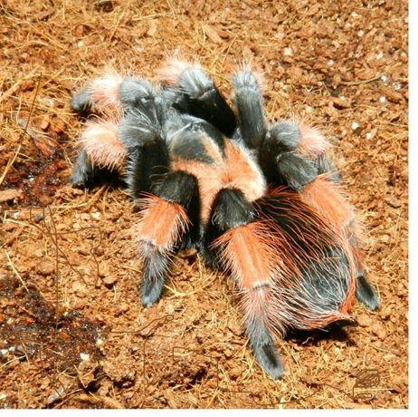 Brachypelma emilia малыши паука птицееда для новичков живут 30 лет