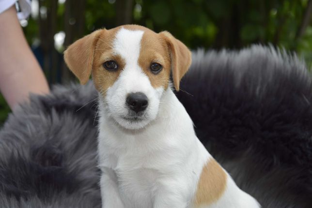 Jack Russell Terrier FCI szczenięta