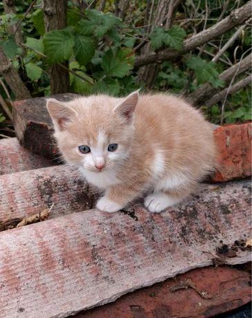 Персиково-белый котик (1,5 мес) ищет любящих хозяев