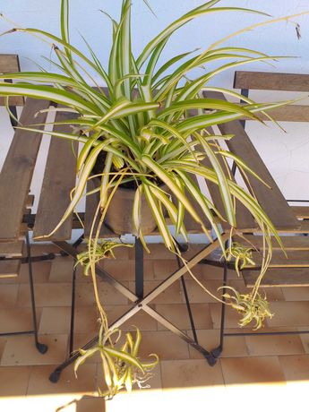 Clorophito planta decorativa